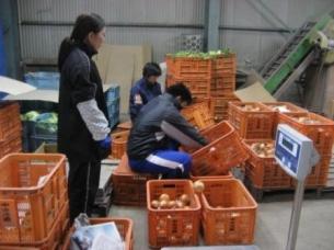 障がい者の農業就労支援(タマネギの選別作業)